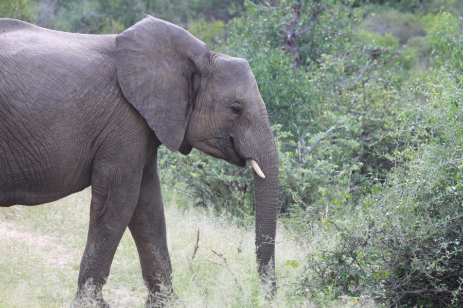 With the lift of the ivory trade restrictions, elephants are being targeted by poachers for their tusks.